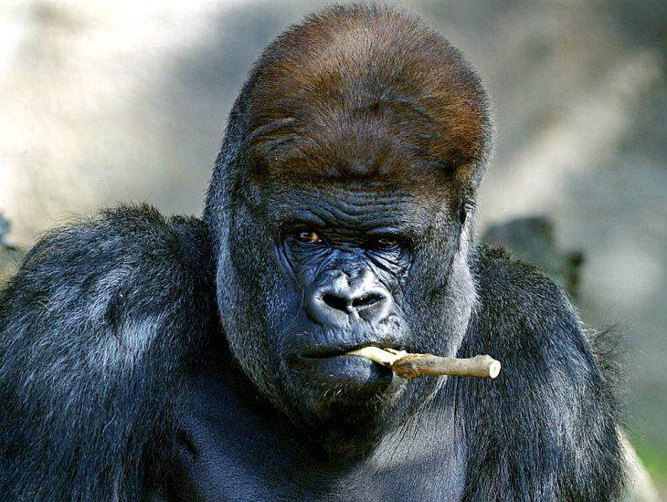 Гориллы куда ближе к людям, чем к шимпанзе